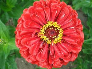 květ cínie