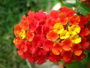 """detail květu """"libory měňavé""""  (Lantana camara )"""