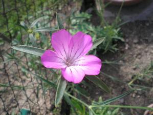Květ koukolu