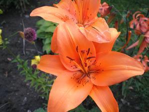 A další lilie