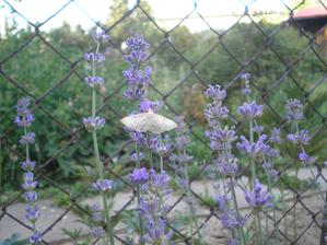 levandule i s motýlkem :)