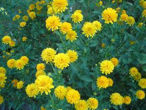 Janeba, kvete celé léto a květy drží dlouho