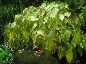 a už jen zabarvené listí škornice