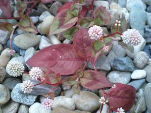 Jednoleté rdesno - krásný kvítek - dlouho kvete :)