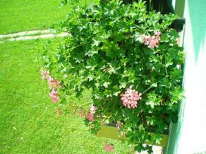 muškáty narostlé, ale málo kvetou:(