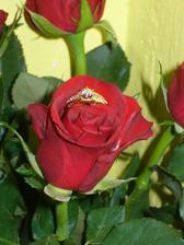 a takhle jsem ho objevila - schovaný mezi okvětními lístky v kytici růží :-) ...