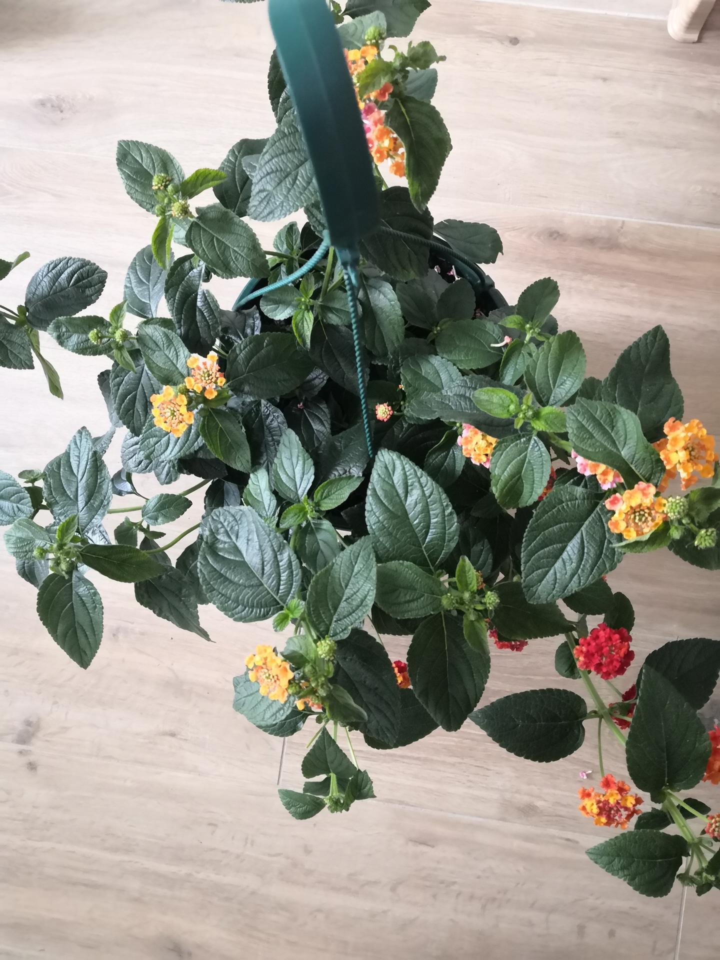 Vie mi niekto prosím poradiť aký je toto kvet? - Obrázok č. 1