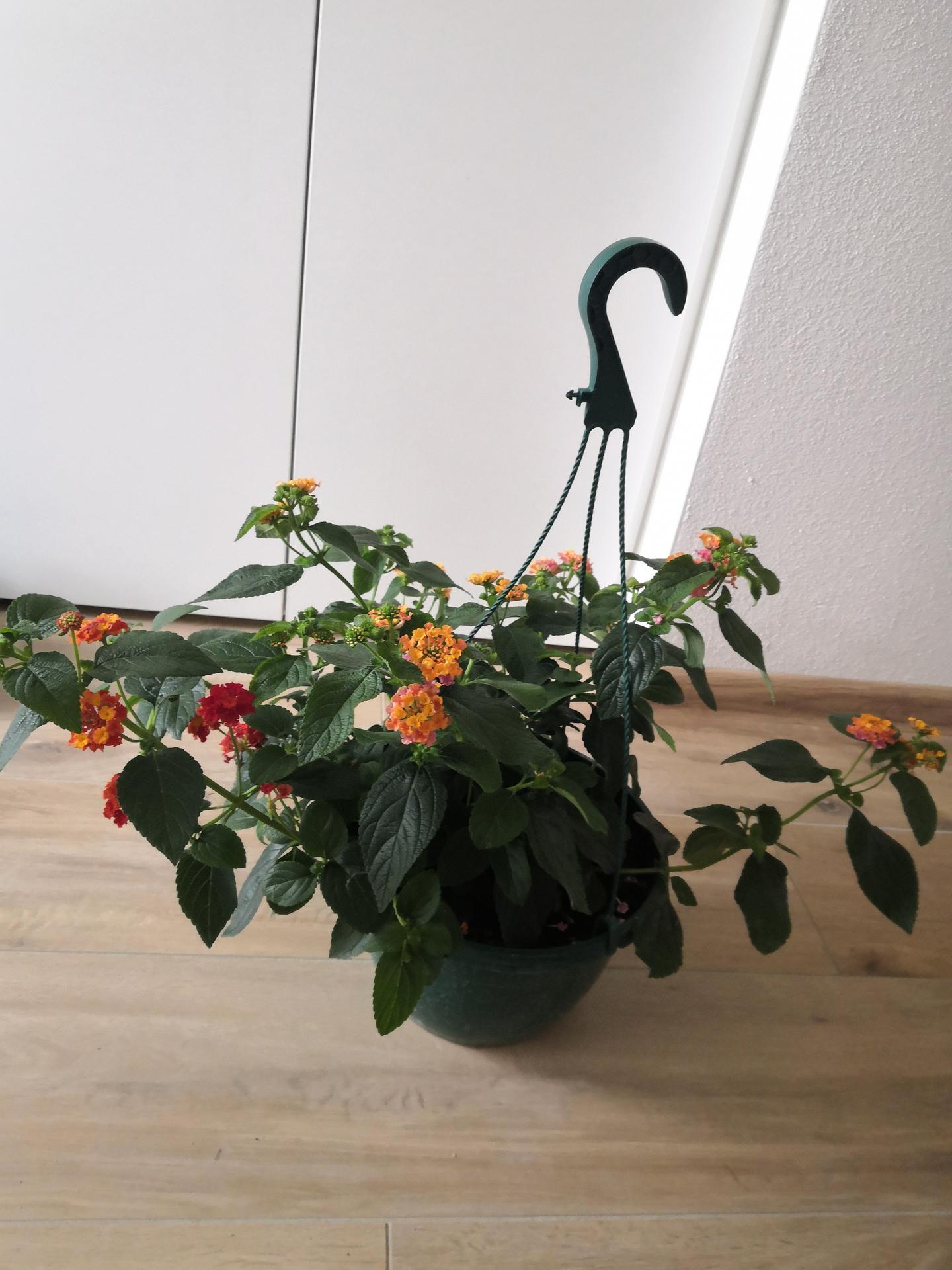 Vie mi niekto prosím poradiť aký je toto kvet? - Obrázok č. 2