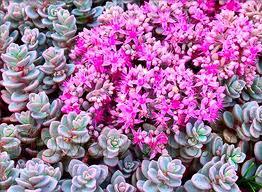 Rastliny do záhrady - Sedum cyaneum 'Sachalin'