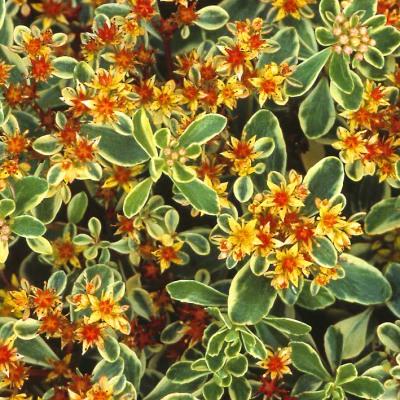 Rastliny do záhrady - Sedum kamtschaticum 'Variegatum'