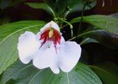 Catalpa speciosa 5ks semienok,