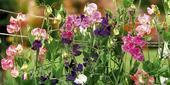 Hrachor voňavý (Lathyrus odoratus),