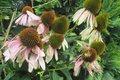 Echinacea purpurová a rudbekia žltá 50 a 50ks,