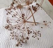 Semienka kôpru voňavého  ,