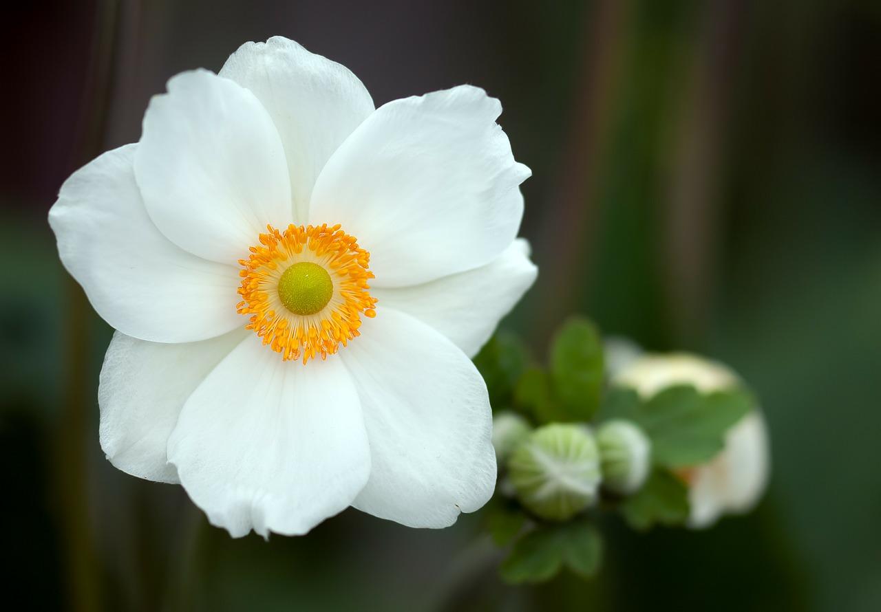 Anemonky biele - Obrázok č. 1