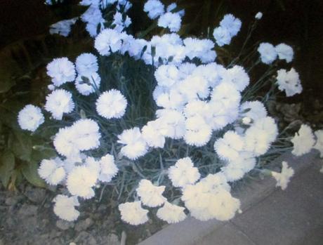 Klinček biely - Obrázok č. 1