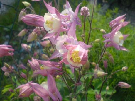 Orlíček ružový - Obrázok č. 1