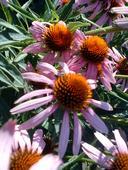 Echinacea purpurová,