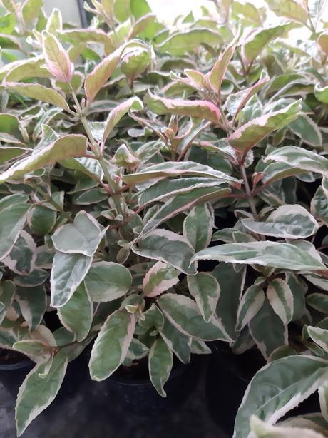 Fuchsia s panašovaným listom - Obrázok č. 1