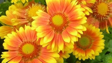 Kokarda oranžovo žltá - Obrázok č. 1