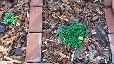 V úterý jsem zasadila oregáno,dnesbje jednou takové...taky vyborný plevel to je...
