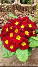 Stejně ty červené jsou každoročně nejvíce kvetoucí a krásně kompaktní..