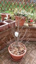 Jestli na něco jsem pyšná,tak na to,že jsem přes zimu uchovala Magnolii v květináči a má spoustu poupat...
