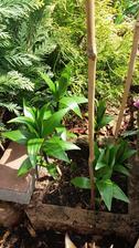 Lonska lilie z Kauflandu..vubec jsem nepocitala,ze by vyrostla,jen jsem ji tam tak pichla do volne svahovky..
