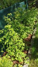 Habry po zime..letos snad konecne budu moci sundat tu zelenou nadheru z plotu..