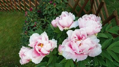 Stihly soucasne kvest vsechny kvety pivonky..