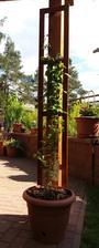 Opět i letos dělám žebříčky na Clematis na terase...
