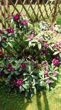 Loni bez květu,letos jsem ho potrebovala presadit a kvete krásně,tak čekám s přesazenim az po odkvětu..