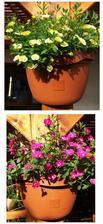 Svítí na ně pouze pozdní slunicko pouze chvíli denně,ale kvetou i tak..