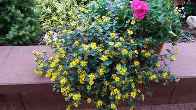 Vitalku si pristi rok urcite znova poridim,je nenarocna a neni potreba obirat odkvetle kvety..