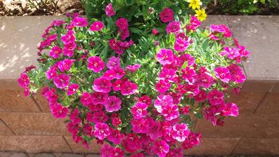 V půli týdne jsem otrhala skoro všechny květy a krásně rozkvetly nové..