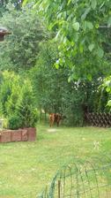 Keliška pozoruje sousedy u plotu..
