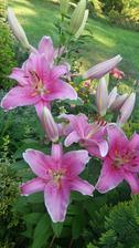Posledni lilie