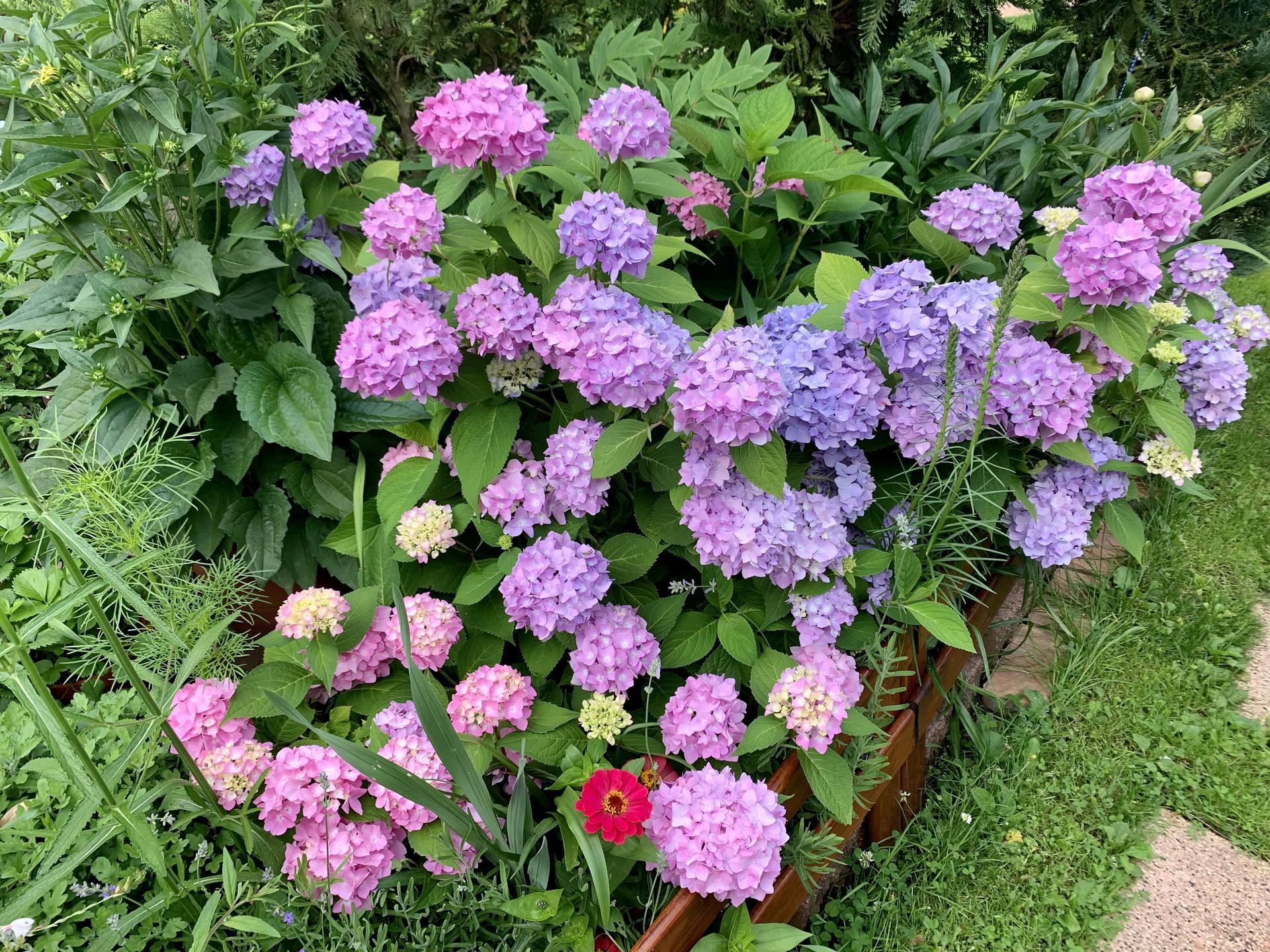 Hortenzie stará několik let,celé roky růžové květy,letos do modra…žádná změna podmínek,zálivky,nehnojím,nechápu…🤷♀️Nevíte,jak ji zase vrátit na růžovou??Děkuji😊 - Obrázek č. 1