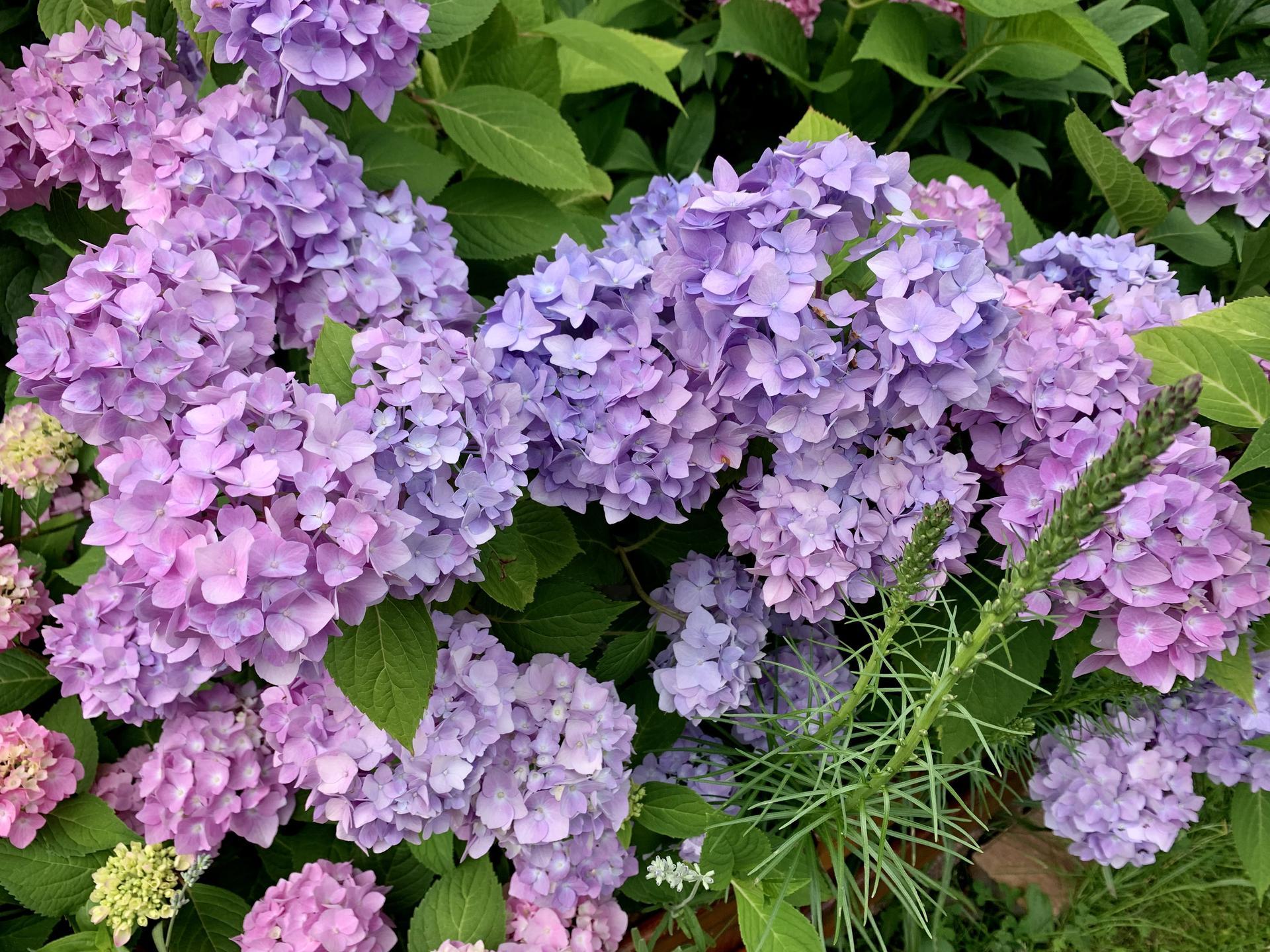 Hortenzie stará několik let,celé roky růžové květy,letos do modra…žádná změna podmínek,zálivky,nehnojím,nechápu…🤷♀️Nevíte,jak ji zase vrátit na růžovou??Děkuji😊 - Obrázek č. 2
