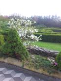 ...magnolie vítá jaro...
