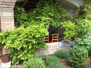 Dve wisterie pri sebe, zboznuju teplo, celodenne slnko, na terase spravia v lete uzasny tien :)