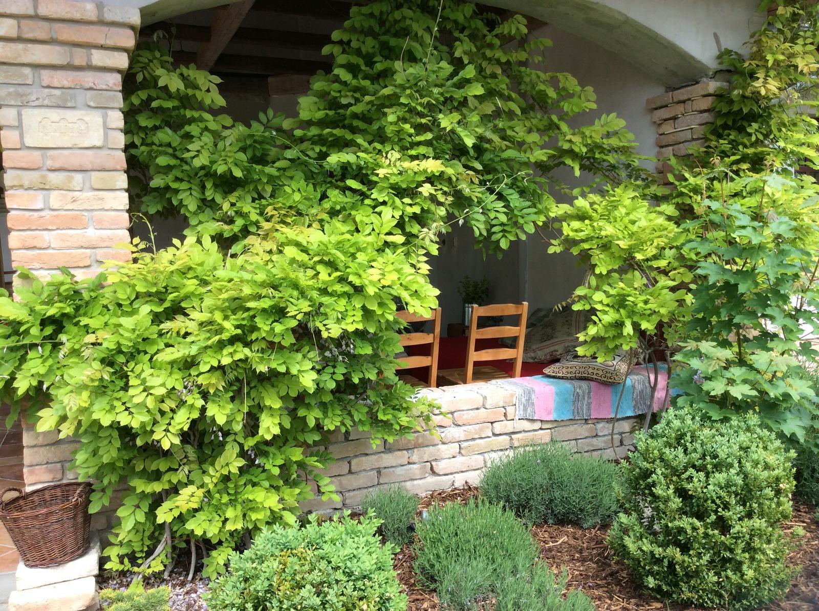 Wisteria 2014 :-) - Dve wisterie pri sebe, zboznuju teplo, celodenne slnko, na terase spravia v lete uzasny tien :)