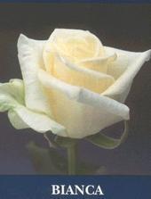 určite kytička musí byť z takýchto ružičiek Bianca