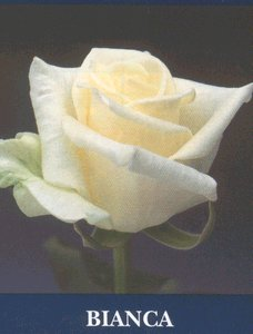 Magduška a Maťulko - určite kytička musí byť z takýchto ružičiek Bianca
