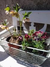 ...vyberáme do záhrady - čemerica, anemone, saxifraga a pulsatilla