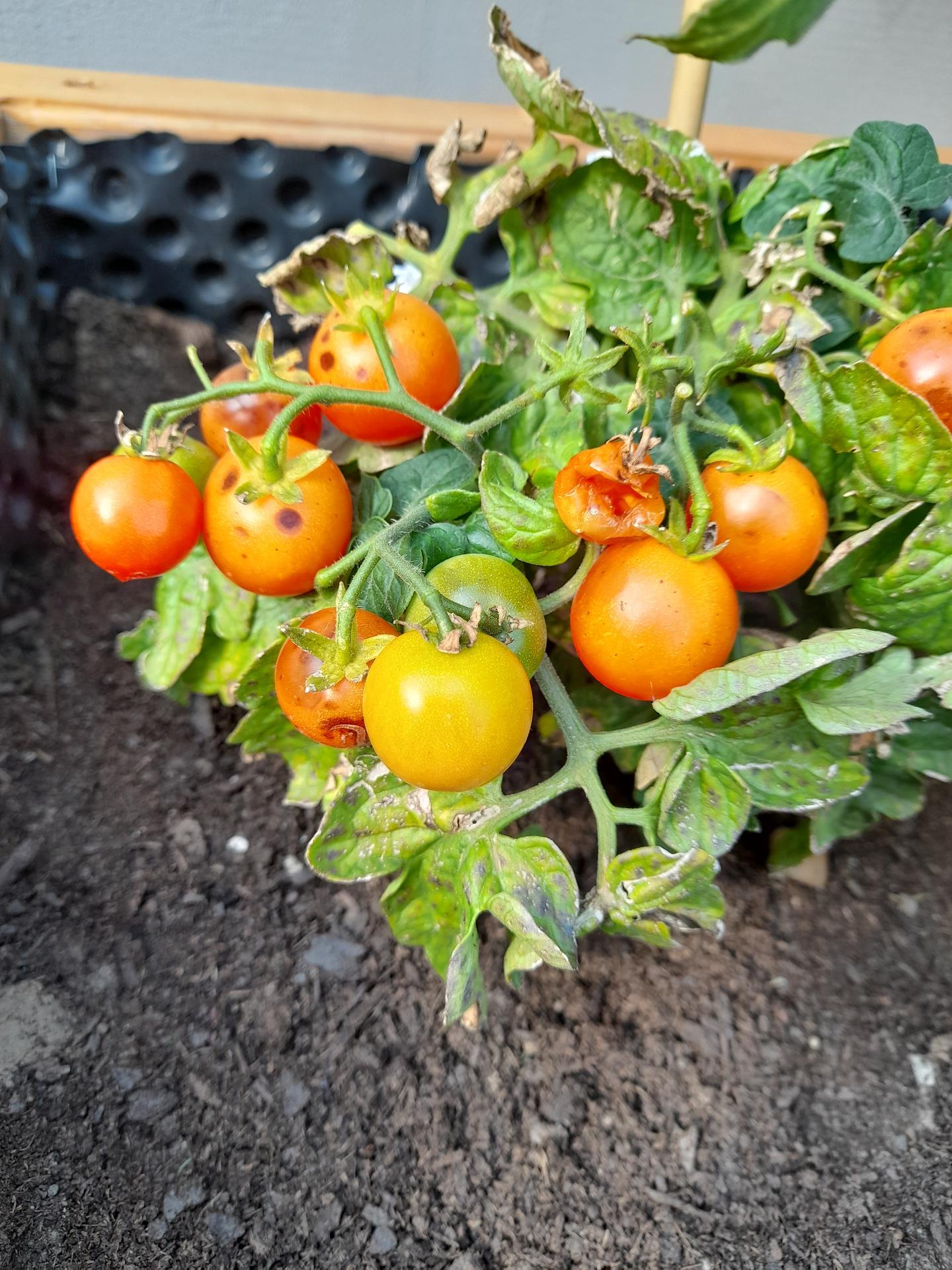 Poradite prosim? Je to plesen alebo co je tym paradajkam? Dakujem - Obrázok č. 1