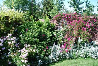 upřednostňuju botanické růže (kvetou sice jenom jednou ročně, ale nechávám šípky pro další použití)