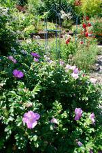 v popředí obyčejná rosa rugosa. Plevel, hodně odnožuje, ale zase ty šípky...