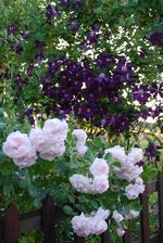 Růže aspirin i clematis přežily přívalový déšť