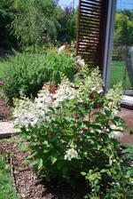 a jinak - konečně to rozjely hortenzie latnatky. V srpnu se snadno množí z řízku.